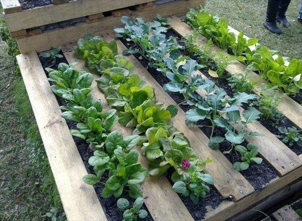 ไม้พาเลทเก่าทำสวนผักกิน